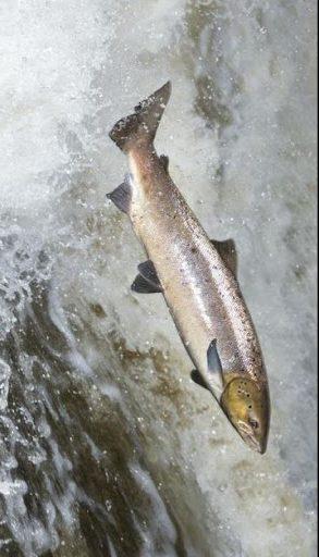 saumon amérindien