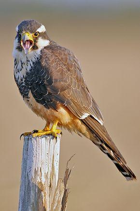 Faucon symbole amérindien