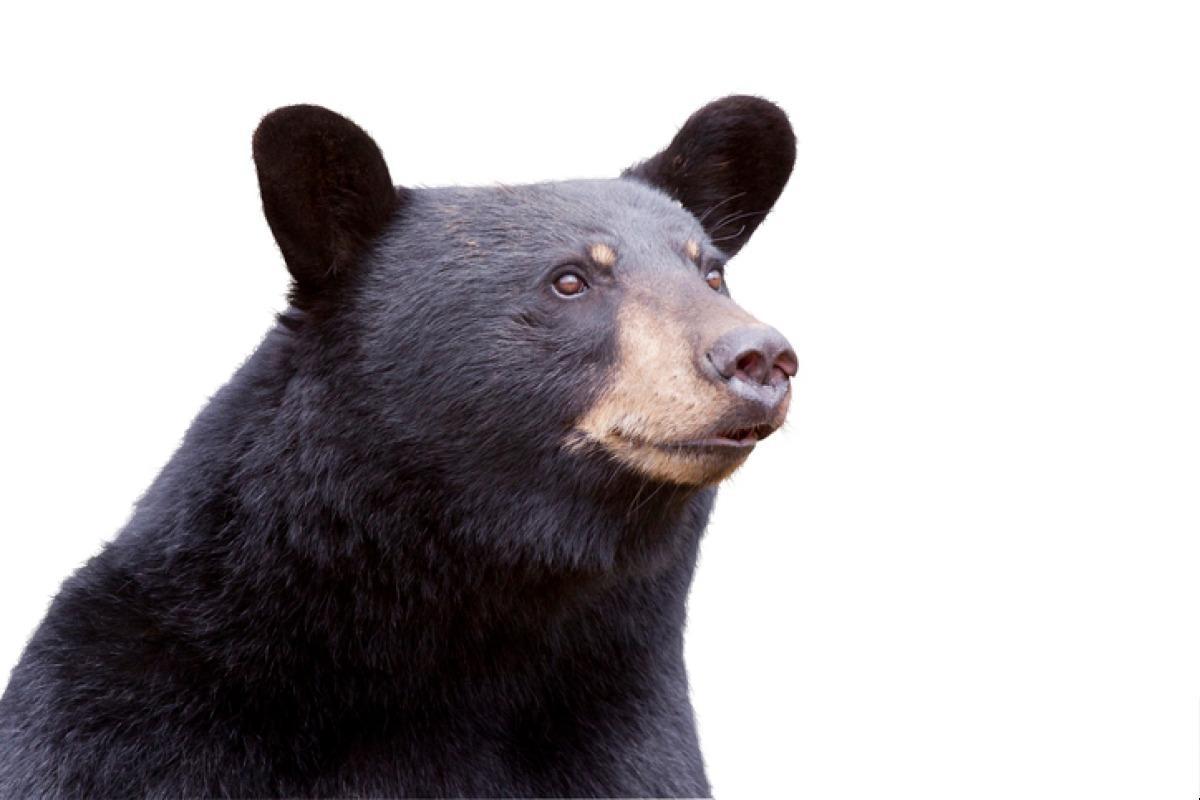 ours noir indien